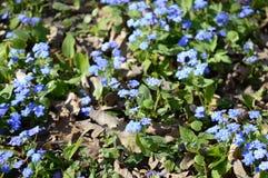 Cappadocica de Omphalodes - flor azul adiantada da mola foto de stock
