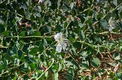 Capparis herbacea obrazy royalty free