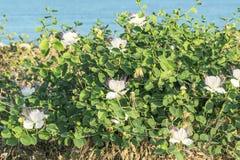 Capparis kwiatonośna roślina na błękitnym wody morskiej tle Kwiaty, liście i pączki dla, jedzenia i medycyny zdjęcie stock