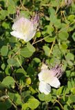 Capparis spinosa Fotografia Stock