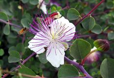 Capparis spinosa Royalty Free Stock Images