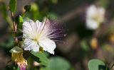 Capparis spinosa flower Royalty Free Stock Images