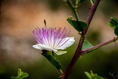 Capparis spinosa kwiat obraz stock