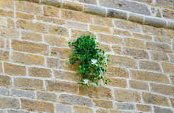 Capparis spinosa kwiat zdjęcia royalty free