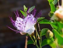 Capparisspinosa: knopp och blommat Fotografering för Bildbyråer