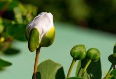 Capparisspinosastart som blommar Arkivfoton