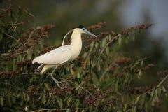 Capped heron, Pilherodius pileatus, Royalty Free Stock Image