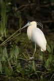 Capped heron, Pilherodius pileatus,. Single bird on branch, Brazil Stock Photography