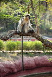 Capped Langur monkey with long tail Stock Photos