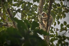 Free Capped Langur Monkey On A Tree In Jungle Royalty Free Stock Photography - 83952737