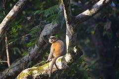 Capped Langur, Trachypithecus pileatus. Gibbon Wildlife Sanctuary, Assam India Stock Photos
