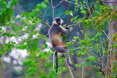 Capped Langur, Trachypithecus pileatus, Nameri National Park. Assam India royalty free stock images