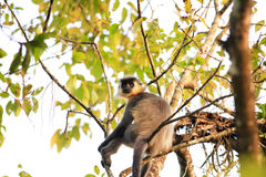 Capped Langur. (Trachypithecus poliocephalus) in Nameri National Park, India Royalty Free Stock Images