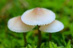 capped mushroom Arkivfoto