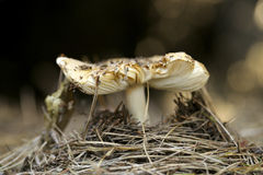 capped mushroom стоковые фото