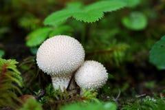 capped mushroom Στοκ Φωτογραφία