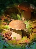 capped mushroom 库存图片