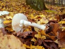 capped mushroom Стоковая Фотография RF