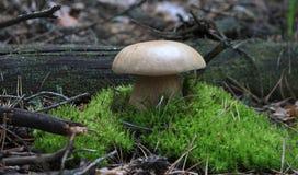 capped mushroom Стоковое Фото