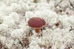 capped mushroom Στοκ φωτογραφία με δικαίωμα ελεύθερης χρήσης