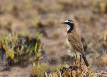 Capped wheatear Royalty Free Stock Photography
