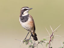Capped Wheatear. Photographed in the Kalahari Stock Photos