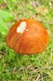 Cappello del rufus del boletus, fungo rosso Immagine Stock Libera da Diritti