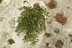 Capper roślina zdjęcie stock