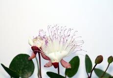Cappero del fiore Fotografia Stock Libera da Diritti