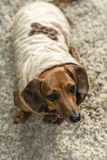 Cappotti del cane Fotografie Stock