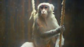 Cappotti della razza della scimmia stock footage