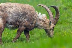 Cappotto cambiante di capricorno alpino maschio di capra ibex di lettura rapida Fotografie Stock