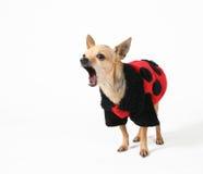 Cappotto del Ladybug fotografia stock