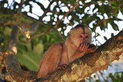 A cappuccino monkey in a tree royalty free stock photography