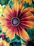 CappuccinoRudbeckiablomma Royaltyfri Bild