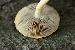 Cappuccio selvaggio del fungo fotografie stock