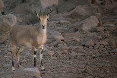 Capra – looks similar to gazelle - standing in an area with rocks Royalty Free Stock Image