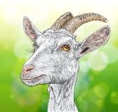 Capra royalty illustrazione gratis