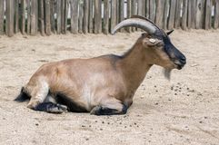 Capra aegagrus hircus domestic goat. Lying in the sand in the garden Stock Images