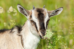Capra aegagrus hircus, Goat. Royalty Free Stock Photos