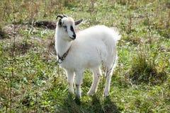 Capra aegagrus hircus, Goat. Capra aegagrus hircus. Home goat in field Stock Photo