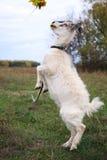 Capra aegagrus hircus, Goat. Capra aegagrus hircus. Home goat in field Stock Photos