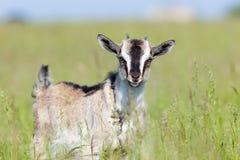 Capra aegagrus hircus, Goat. Stock Image