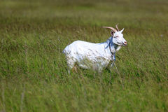 Capra aegagrus hircus, Goat. Royalty Free Stock Photo