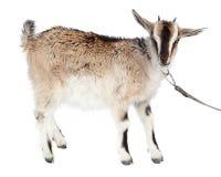 Capra aegagrus hircus, Goat. Stock Photography
