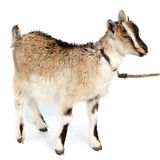 Capra aegagrus hircus, Goat. Royalty Free Stock Photography