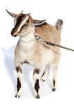 Capra aegagrus hircus, Goat. Stock Photos