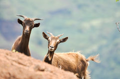 Capra aegagrus hircus. Two wildered domestic goats in Kauai Stock Photography