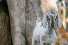 Capra in Africano indiano con le orecchie e la pelliccia lunghe con fondo nei pascoli che pasce nel lato del paese immagine stock