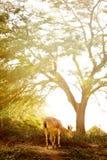 Capra al prato di tramonto fra gli alberi Fotografia Stock